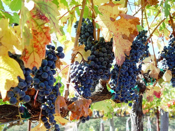 Grapes in the vineyards